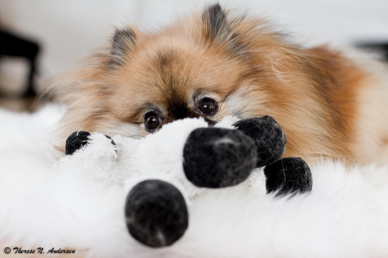 dc2b2634 Jeg skal innrømme at det å ta bilder av hunder med fluffy pels og korte  bein er noe jeg liker veldig godt. Det å ta bilder av minityrhunder har  blitt noe ...
